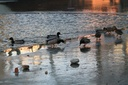 les canards ont froid !
